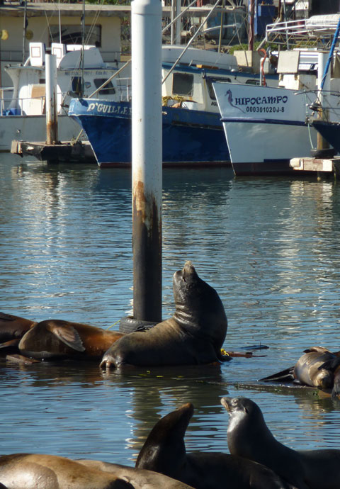 13 ensenada sea lions 2